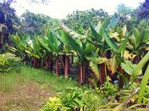 Banana field of Mauritius island Stock Photography