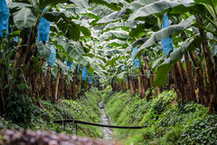 Banana field or plantation in Central America. HUge area reserved for banana plantation, blue bags are mounted on bananas so they would grow in better condition Stock Photos