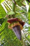 Banana flower Stock Image
