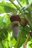 Banana flower Royalty Free Stock Images