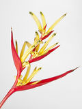 Banana flower. In white background Royalty Free Stock Images