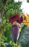 Banana flower. The process of banana fruit maturation from the flower Royalty Free Stock Image