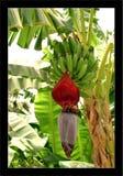 Banana flower. Banana tree. flower and fruits Stock Photos