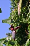 Banana flower. Banana fruit tree with is huge flower Stock Images