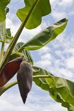 Banana flower against sky Royalty Free Stock Photo