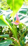 Banana flower. Is beautiful with the nature Royalty Free Stock Images