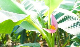 Banana flower. Is beautiful with the nature Royalty Free Stock Image