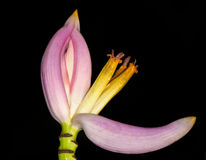 Banana flower. On a black background closeup Stock Images