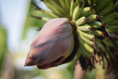 Banana flower blossom. With bunch hanging on a banana tree Royalty Free Stock Images