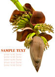 Banana flower blossom with little bananas isolated on white Stock Photo