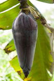 Banana Flower Bud Royalty Free Stock Photo