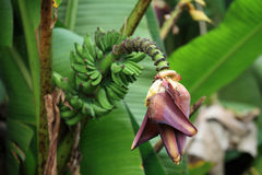Banana flower with bunch Stock Photography