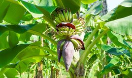 Banana flower. Bunch of bananas with banana blossom Royalty Free Stock Photos