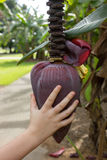 Banana flower Royalty Free Stock Photography