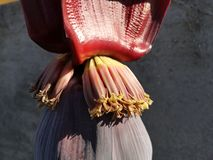 Banana flower close up. Close up of a banana flower with small bananas forming under the petals flowering fruit fruits large red tree tropical stock photo