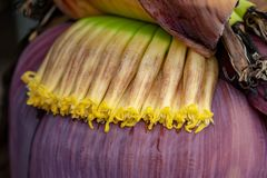 Banana flower florets on flower about to bloom in La Palma, Cana stock images