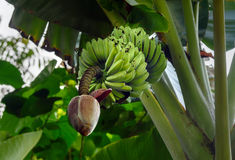 Banana flower Stock Images