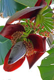 Banana Flower. Growing plant with Banana Flower in summer Stock Photo