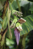 Banana Flower Royalty Free Stock Images
