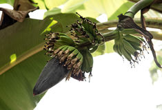 Banana flower with raw young bananas Royalty Free Stock Photo