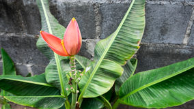 Banana flower. The banana flower and tree Royalty Free Stock Photos