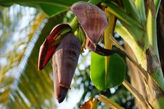 Banana flowers emerge as a large tapered cone from the center of the banana tree at the tip end of a forming bunch of bananas. royalty free stock images
