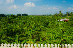 Banana Forest in Rural area of Thailand Royalty Free Stock Photography