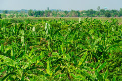 Banana Forest in Rural area of Thailand Stock Images