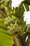 Banana fresca sul cielo bianco Fotografia Stock Libera da Diritti