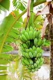 Banana fruit Royalty Free Stock Photography