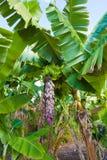 Banana fruit Royalty Free Stock Images