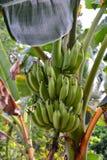 Banana fruit. Mekong delta region. Cai Be. Vietnam Royalty Free Stock Image