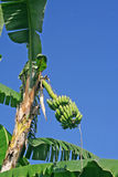 Banana  fruit plantation india Stock Photo