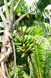 Banana fruit on the tree Royalty Free Stock Images