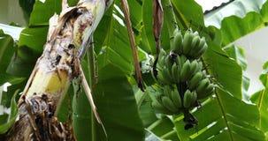 Banana fruit on tree, rainy day scene. Green banana fruit on tree, rainy day scene stock video footage