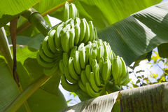 Banana fruits. Fresh Banana fruits on a banana tree Stock Photography