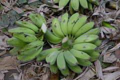 Banana fruits in the garden Stock Photo