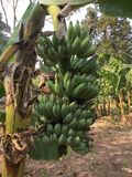 Banana fruits Royalty Free Stock Images