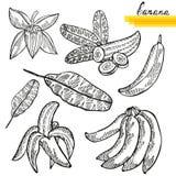 Banana fruits set Royalty Free Stock Photos