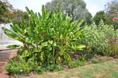 Banana garden Royalty Free Stock Photography