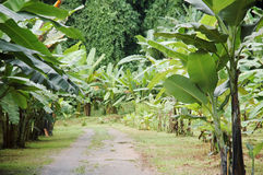 Banana garden Stock Photo