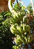 Banana garden Stock Photos