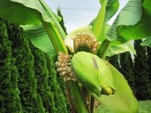 Banana in garden royalty free stock photos