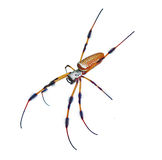 Banana golden orb weaver spider on white Stock Photo