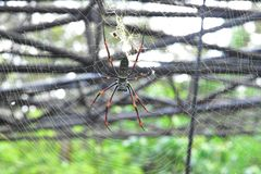 Banana spiders or golden orb-weavers live in warmer area on the big tree royalty free stock photos
