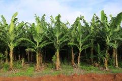 Banana gospodarstwo rolne Zdjęcia Stock