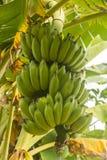 Banana. Green banana bunch in banana plant Stock Photos