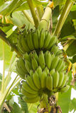 Banana. Green banana bunch in banana plant Stock Image