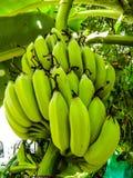 Banana green color Stock Photos