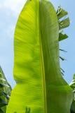 Banana green leaf Royalty Free Stock Photos